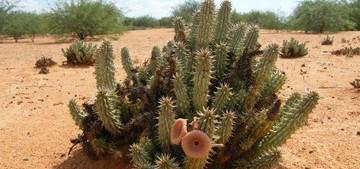 Род Гудия (Семейство Ластовневые) назван в честь садовода Гуда. Гудии - многолетние обильноветвящиеся кустарники со стеблями высотой от 15-30 см до 1 м. Род насчитывает от 10 до 20 видов.