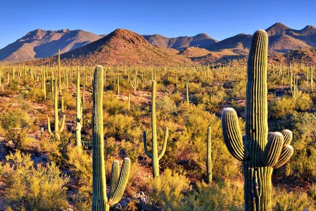 Кактусы пустыни - это непременный атрибут этой сложной местности. Кактусы пустыни процветают в экстремальных условиях пустынь, в которые другие растения и даже животные попросту не смогут существовать