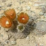 Эриосице — Eriosyce napina sp. tenebrica