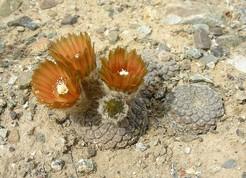 Кактус Эриосице - Eriosyce napina sp. tenebrica, описание и фото