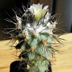 Gymnocactus-gielsdorfianus