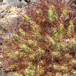Майуэниопсис цветной — Maihueniopsis colorea