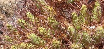 кактус Майуэниопсис цветной, Maihueniopsis colorea