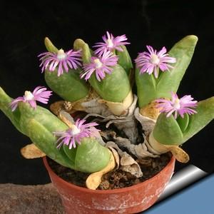 Гиббеум Шанда (Gibbaeum Shandii)    Вид напоминает G. pilosulum и G. pubenscens. Высота листьев 4-5 см, их поверхность покрыта тончайшими волосками. Цветки розоватые.