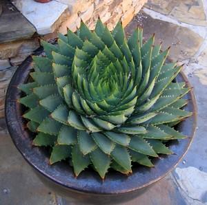 Алоэ Многолистное / Алоэ Спиральное  (Aloe Polyphylla)     Алоэ Многолистное. Благодаря характерному расположению листьев этот вид известен также как Алое спиральное. Его родина - территория Лесото (юг Африки) на высотах 2000-2500 м над уровнем моря. Число листьев в розетке до 30. Она может быть как лево- так и правозакрученной.