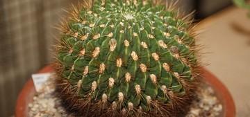 Кактус Эхинопсис - Echinopsis chrysochete, описание и фото