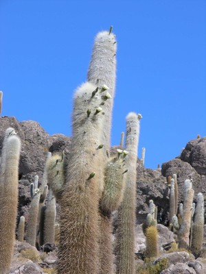 Кактус Эхинопсис атакамский пасакана - Echinopsis atacamensis ssp. pasacana, описание и фото