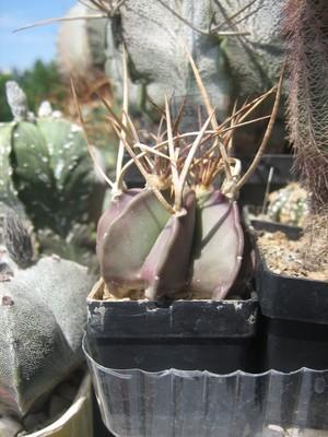 Acapricornevcrassispinum