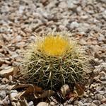 Эхинокактус Грузона — Echinocactus grusonii