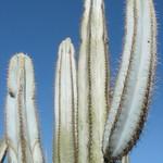 Пилозоцереус толстоветвистый — Pilosocereus pachycladus / azureus