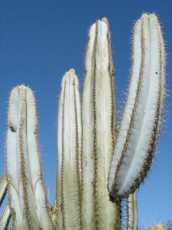 Пилозоцереус толстоветвистый, Pilosocereus pachycladus / azureus