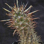 Аустрокактус Кокса — Austrocactus coxii