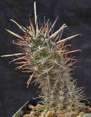 Austrocactus-coxii