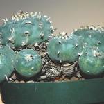 Лофофора ежистая — Lophophora echinata