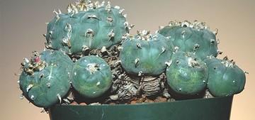 Лофофора ежистая, Lophophora echinata