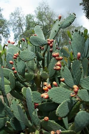 Опунция сжатая, Opuntia stricta