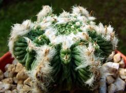 Ацтекиум, Aztekium Ritteri, описание, фото, кактусы