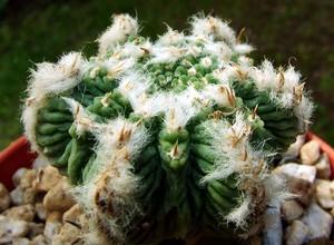 Aztekium Ritteri, описание, фото