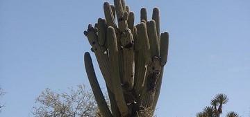 Neobuxbaumia tetetzo