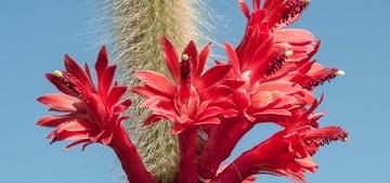 Кактус Хилдевиртера - Hildewintera colademononis, описание и фото