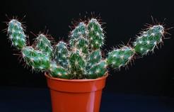 Коринопунция, Грузония клубнеколючая, Corynopuntia, Grusonia bulbispina, фото, описание, кактус