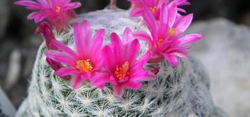 Мамиллярия Гумбольдта - Mammillaria humboldtii. Латинское название: Mammillaria humboldtii У этого вида стебель светло-зеленый, шаровидный, образует боковые побеги, до восьми сантиметров в диаметре. Бугорки (сосочки) длинные, цилиндрические, мягкие, в длину около одного сантиметра.