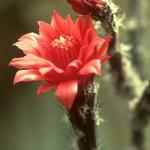 Вилкоксия змеевидная — Wilcoxia viperina