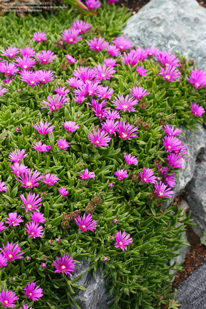 Делосперма Сутерланда (Delosperma Sutherlandii)     Стебли прямостоячие или распростертые, покрыты короткими жесткими волосками и сосочками. Листья зеленые, покрыты мелкими сосочками, по краю реснитчатые, длиной 5-8 см, шириной около 2 см; поздней осенью они ежегодно отмирают, вновь появляясь весной. Цветки диаметром 6-7 см, фиолетово-розовые.