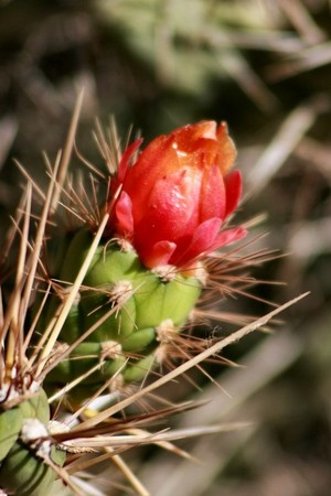 Корриокактус оттопыренный, Corryocactus squarrosus / Erdisia squarrosa, описание, фото