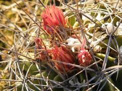 Кактус Ферокактус - Ferocactus echidne var. rhodanthus, описание и фото
