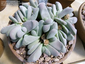 Глотифиллум Малоплодный (Glottiphyllum Oligocarpum)    Все растение напоминает кучку камней. Стебель укороченный. Листья цилиндрические, закругленные, разной длины, покрыты матовым налетом. Цветы желтые.