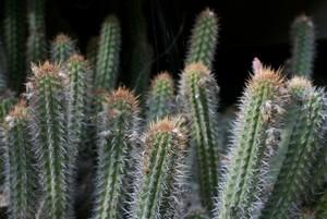 Клейстокактус, Cleistocactus fieldianus, кактусы