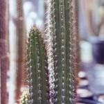 Корриокактус коротколепестный — Corryocactus brachypetalus