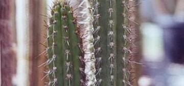 Корриокактус коротколепестный, Corryocactus brachypetalus, описание, фото