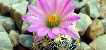 Кактус Эскобария маленькая - Escobaria minima, описание и фото