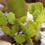 Опунция бразильская — Opuntia / Brasiloopuntia brasilensis