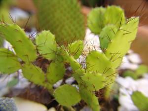 Опунция бразильская, Opuntia / Brasiloopuntia brasilensis