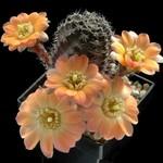 Цветение кактусов. Как заставить кактус цвести?