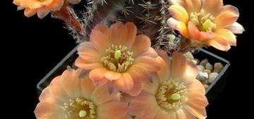 Цветение кактуса. как заставить кактус цвести. Чтобы кактус зацвел - необходим правильный уход. И за уход кактус обязательно наградит своего хозяина прекрасными цветами. А цветут кактусы очень красиво.