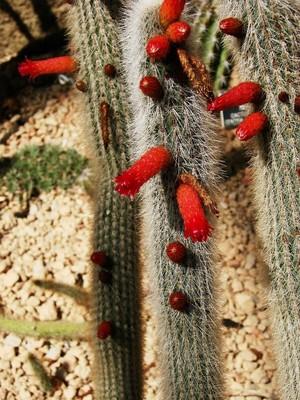 Клейстокактус стекловидный, Cleistocactus hyalacanthus, фото, кактус