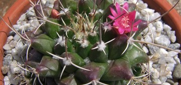 Маммилярия сжатая, Mammillaria compressa