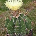 Астрофитум украшенный — Astrophytum ornatum
