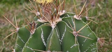 Astrophytum ornatum1
