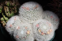 Маммиллярия бокасская, кактус, Mammillaria bocasana