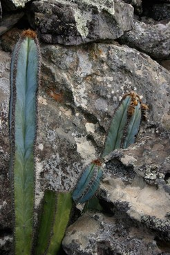 Пилозоцереус, Pilosocereus, fulvilanatus, кактус, фото, описание, уход