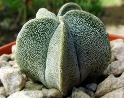 Astrophytum-myriostigma-v.-potosinum