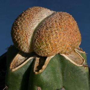 Кактус Явия хохлатая - Yavia cryptocarpa forma cristata, описание и фото