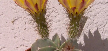 Кактус Эхиноцереус безколючковый - Echinocereus subinermis, описание и фото