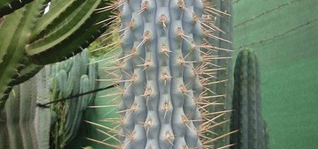 Browningia hertlingiana
