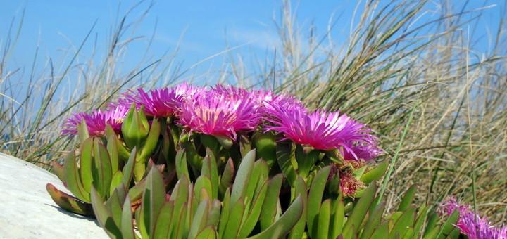 Род Карпобротус (Carpobrotus, семейство Аизовые) суккулентных растений, который насчитывает 25 видов, большинство из которых происходит из Южной Африки